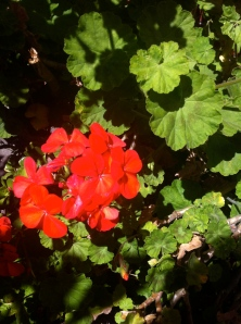 Geraniums are good for a slight earthy, green flavor