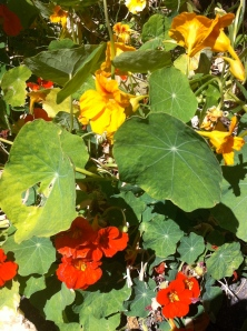 Nasturtiums add a peppery bite to any salad